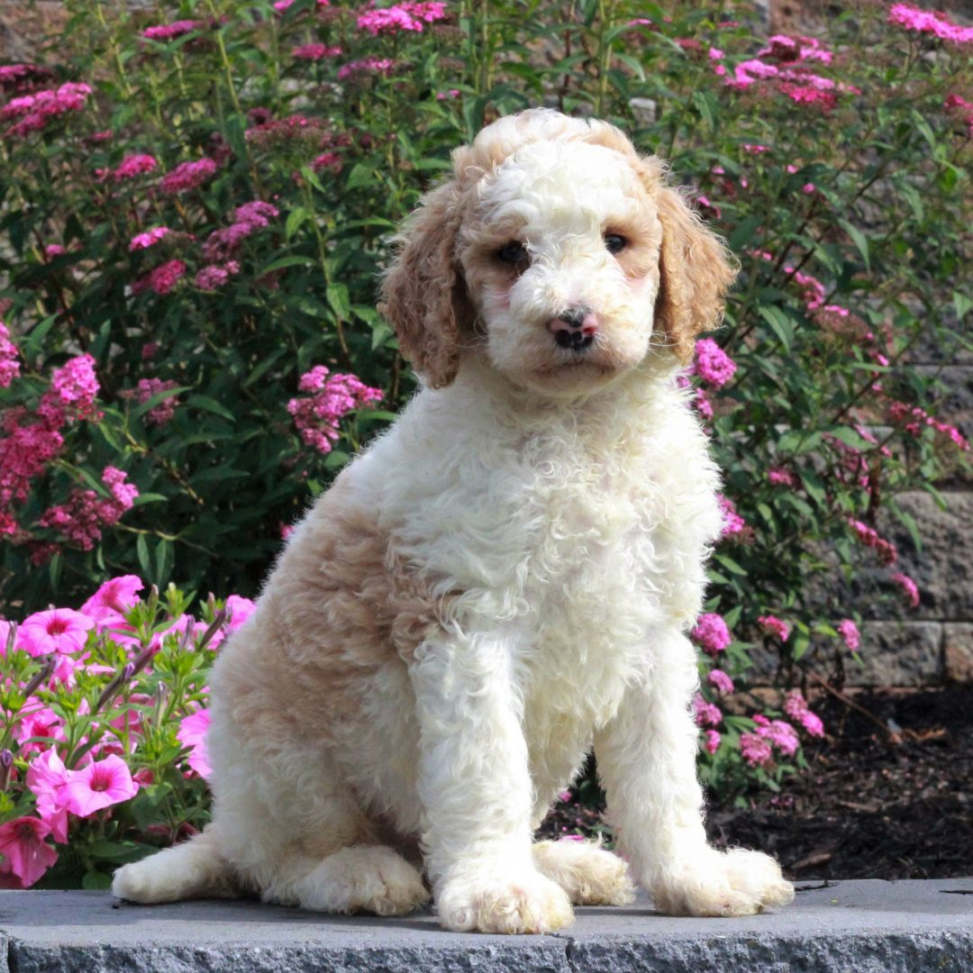Garrett - puppie F1b Standard Goldendoodle male for sale at Honey Brook, Pennsylvania