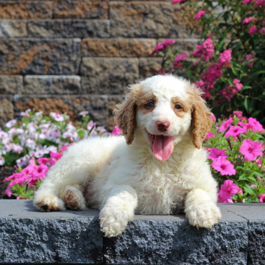 Gideon - F1b Standard Goldendoodle male pup for sale near Honey Brook, Pennsylvania