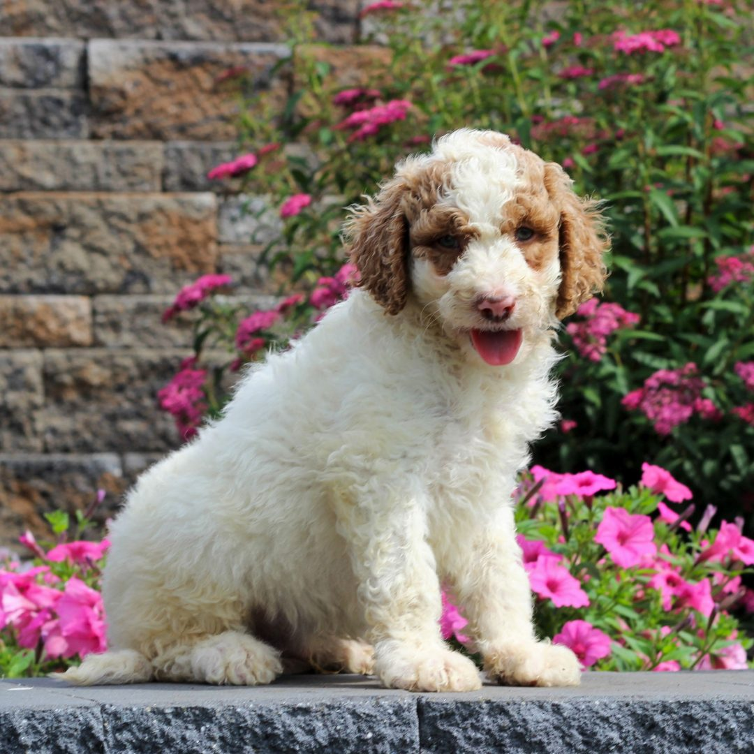 Gray - F1b Standard Goldendoodle male doggie for sale in Honey Brook, Pennsylvania