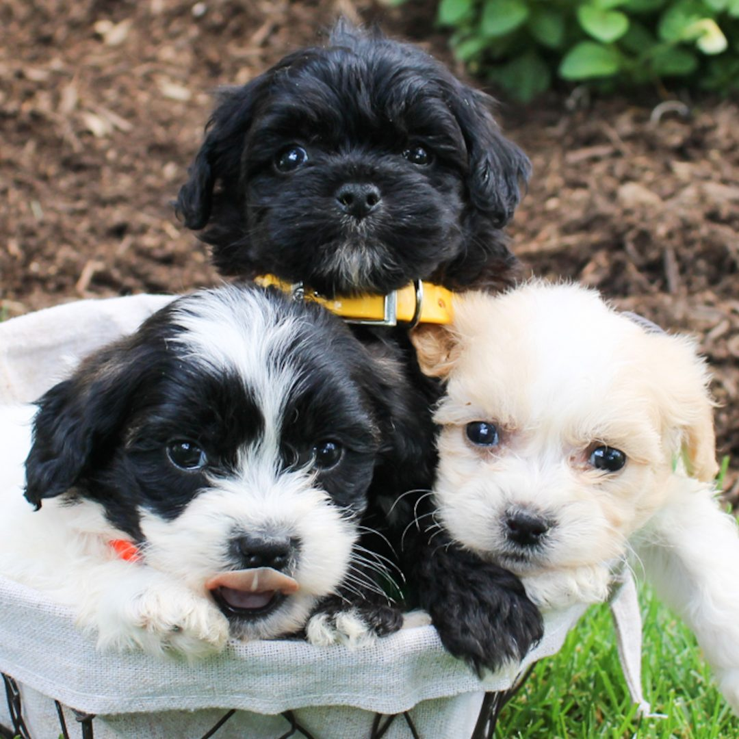 Felix - F1 Shichon male puppie for sale in Bird-in-Hand, Pennsylvania