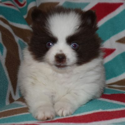 Heidi - Pomsky pup for sale at Sunbury, Pennsylvania