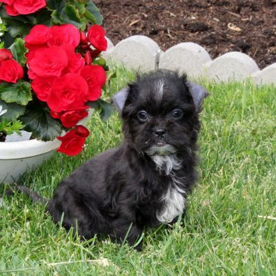 Jane - F1 Shihpoo female puppie for sale in Quarryville, Pennsylvania