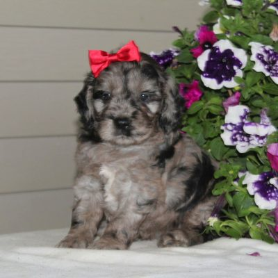 Janet - F1 Mini Goldendoodle female doggie for sale in Airville, Pennsylvania