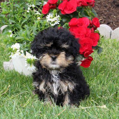 Jason - puppy F1 Shihpoo male for sale near Quarryville, Pennsylvania