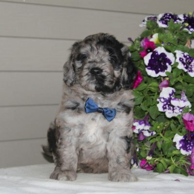 Jerry - male F1 Mini Goldendoodle pup for sale near Airville, Pennsylvania