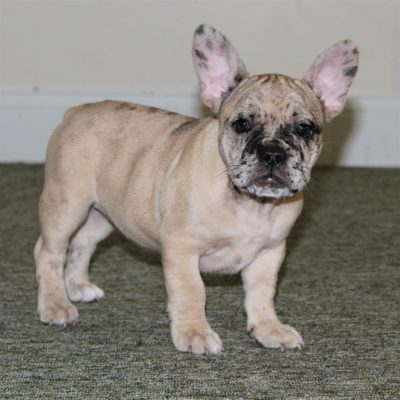 Jessa - CPR French Bulldog female doggie for sale in Gordonville, Pennsylvania
