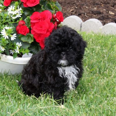 Jimmy - F1 Shihpoo male doggie for sale at Quarryville, Pennsylvania