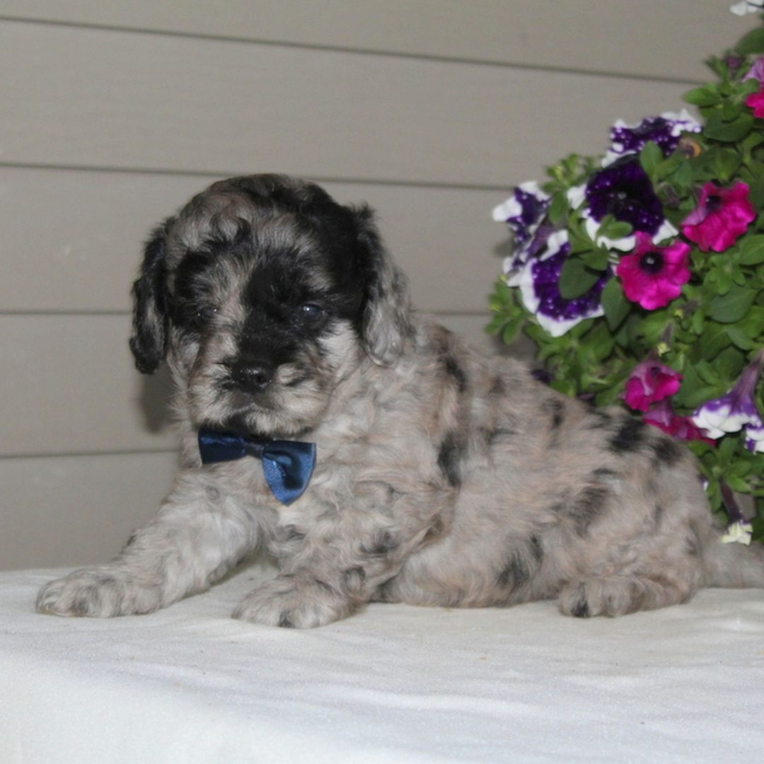 Jimmy - F1 Mini Goldendoodle male pupper for sale in Airville, Pennsylvania