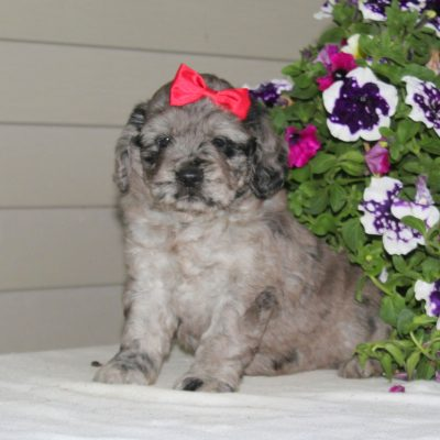 Joy - F1 Mini Goldendoodle puppy for sale at Airville, Pennsylvania