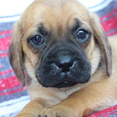Joy - Puggle puppy for sale in Mechanicsville, Maryland