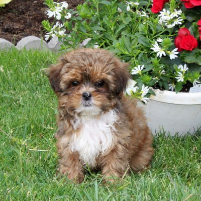 Judy - F1 Shihpoo female pup for sale at Quarryville, Pennsylvania