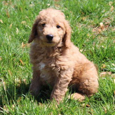 Karl - male Mini Goldendoodle puppy for sale near Gordonville, Pennsylvania