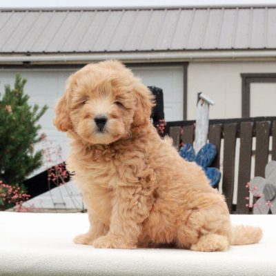 Knox - f1b Mini Goldendoodle male puppie for sale near Gap, Pennsylvania