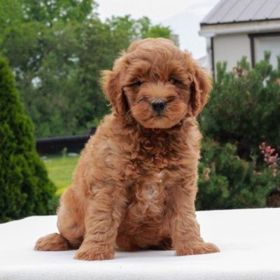 Kolter - puppie f1b Mini Goldendoodle male for sale in Gap, Pennsylvania