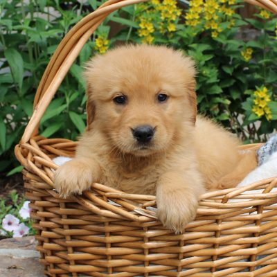 Ben - puppie ACA Golden Retriever male for sale near Narvon, Pennsylvania
