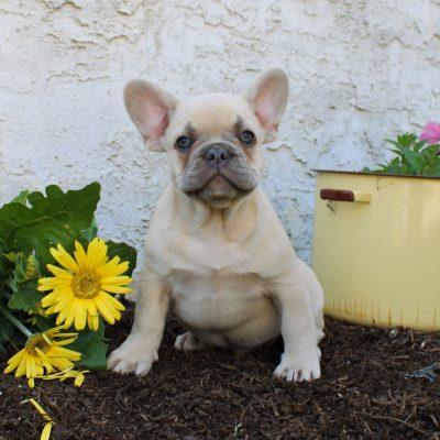 Blake - AKC French Bulldog puppie for sale near Lancaster, Pennsylvania
