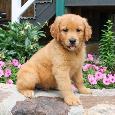 Blake - ACA Golden Retriever doggie for sale in Narvon, Pennsylvania