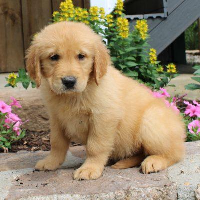Bobby - male ACA Golden Retriever puppy for sale at Narvon, Pennsylvania
