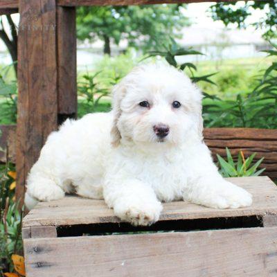 Dakota - F1b Mini Bernedoodle female doggie for sale in Lititz, Pennsylvania
