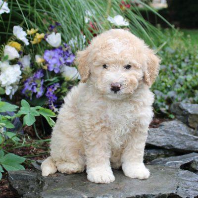 Dimple - F1b Mini Bernedoodle puppie for sale near Lititz, Pennsylvania