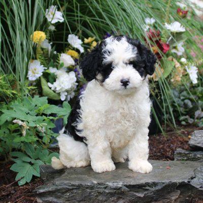 Disney - F1b Mini Bernedoodle pup for sale in Lititz, Pennsylvania