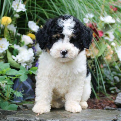 Dodge - F1b Mini Bernedoodle puppie for sale in Lititz, Pennsylvania