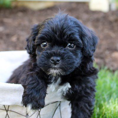Fido - pup F1 Shichon male for sale near Bird-in-Hand, Pennsylvania