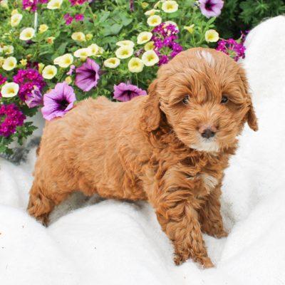 Rex - Cockapoo male pup for sale near Narvon, Pennsylvania