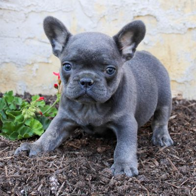 Tucker - AKC French Bulldog male pup for sale at Lancaster, Pennsylvania
