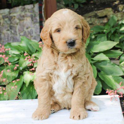 Zayne - Multi-Gen Mini Goldendoodle puppy for sale in Kinzers, Pennsylvania