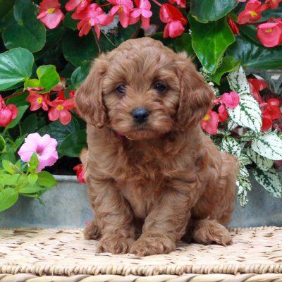 Maggie - female f1 Cavapoo puppy for sale in Parksburg, Pennsylvania