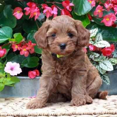 Mandy - puppie f1 Cavapoo female for sale at Parksburg, Pennsylvania