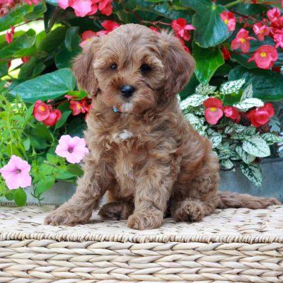 Mia - f1 Cavapoo female pup for sale near Parksburg, Pennsylvania