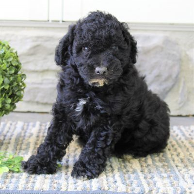 Midnight - ACA Mini Poodle pup for sale near Gap, Pennsylvania