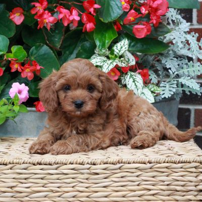 Millie - f1 Cavapoo pup for sale at Parksburg, Pennsylvania
