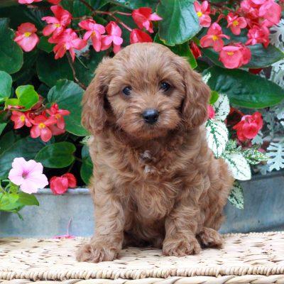 Missy - f1 Cavapoo female doggie for sale near Parksburg, Pennsylvania