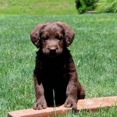 Monty - F1 Standard Labradoodle male pup for sale in Nottingham, Pennsylvania