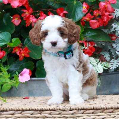 Nell - f1 Cavapoo pup for sale in Parksburg, Pennsylvania