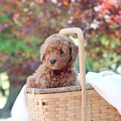 Nerf - Mini Goldendoodle male doggie for sale at Newville, Pennsylvania