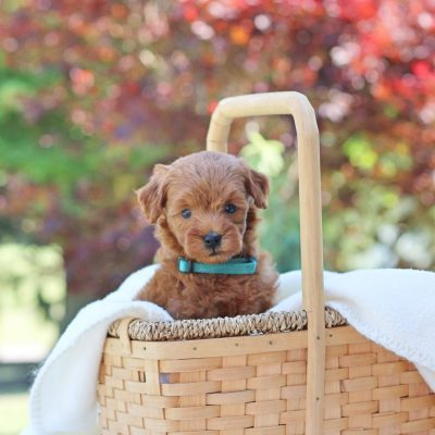 Nettie - Mini Goldendoodle pup for sale at Newville, Pennsylvania