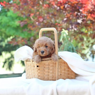 Nick - Mini Goldendoodle male pup for sale in Newville, Pennsylvania