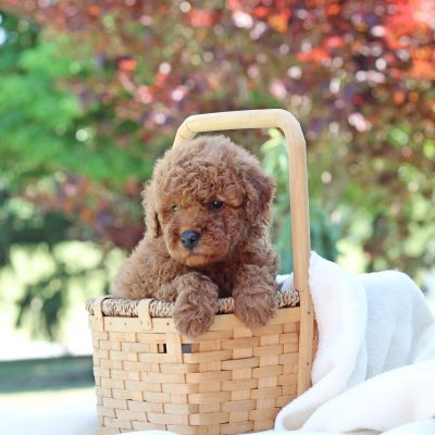 Nifty - Mini Goldendoodle puppie for sale near Newville, Pennsylvania