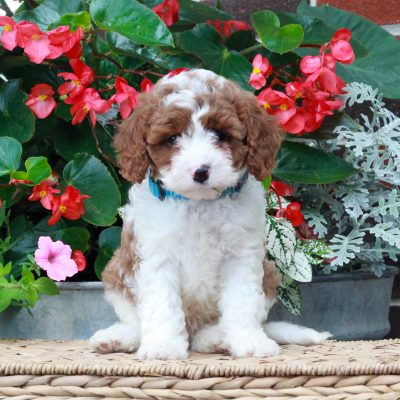 Nikko - f1 Cavapoo doggie for sale in Parksburg, Pennsylvania