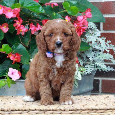 Nile - f1 Cavapoo puppy for sale at Parksburg, Pennsylvania