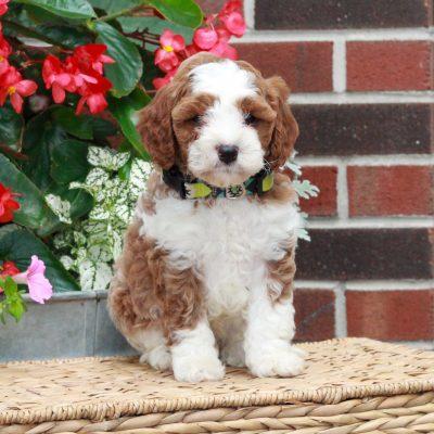 Nixon - puppie f1 Cavapoo male for sale near Parksburg, Pennsylvania