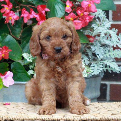 Nollie - f1 Cavapoo female puppy for sale near Parksburg, Pennsylvania