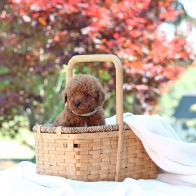 Nora - Mini Goldendoodle female puppie for sale in Newville, Pennsylvania