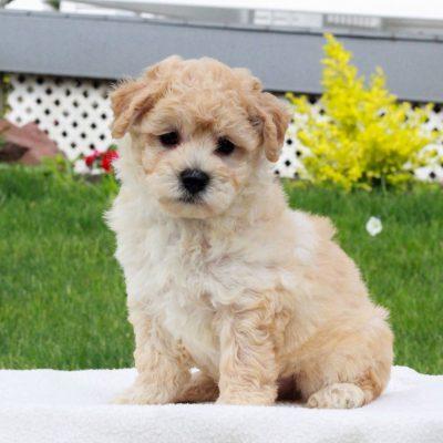 Parker - male f1 Bichpoo pupper for sale near Narvon, Pennsylvania