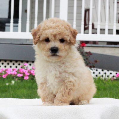 Patrick - f1 Bichpoo male puppie for sale in Narvon, Pennsylvania