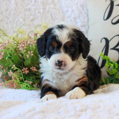 Pickles - F2b Mini Bernedoodle doggie for sale in Narvon, Pennsylvania